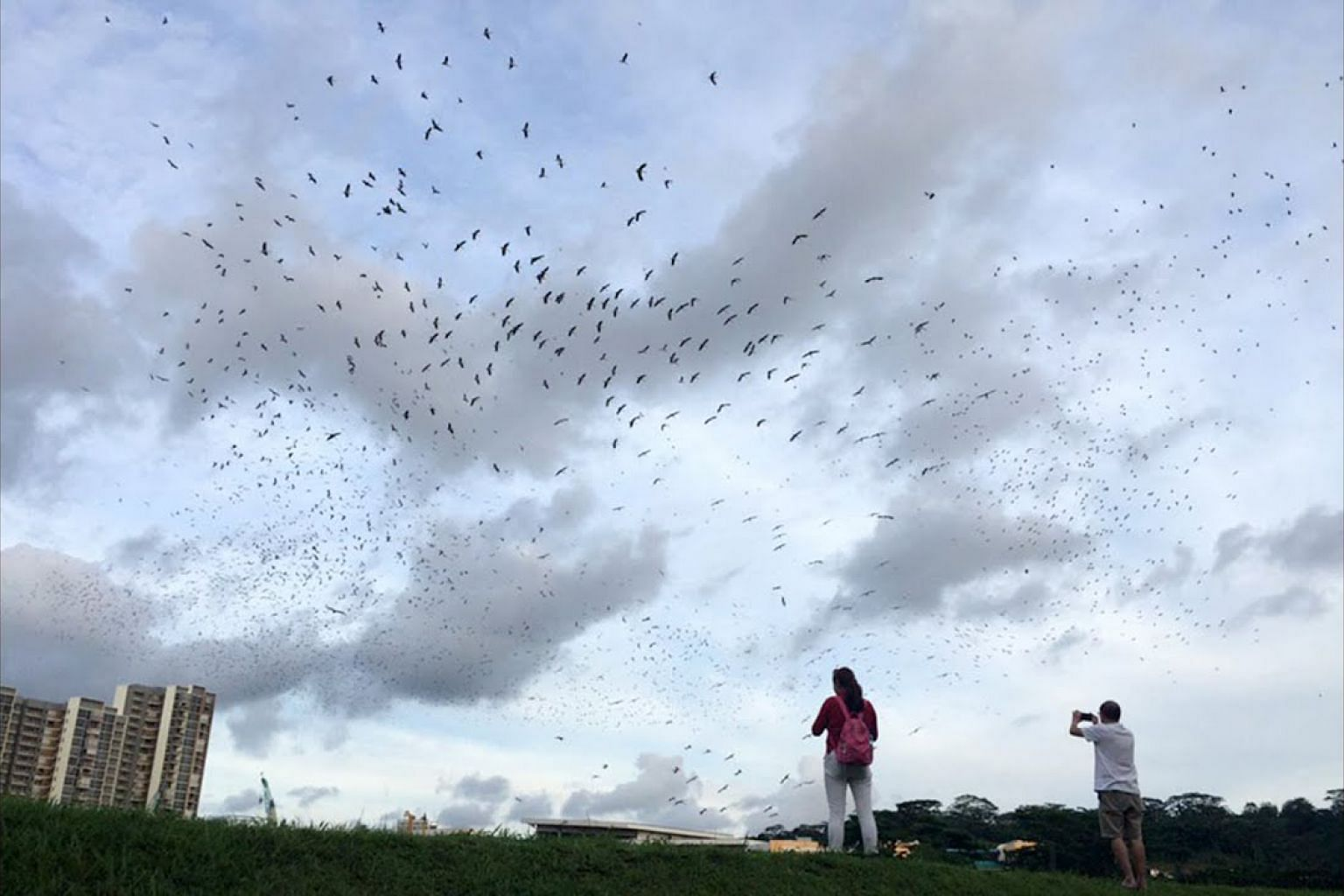 Asian openbill storks spotted across Singapore