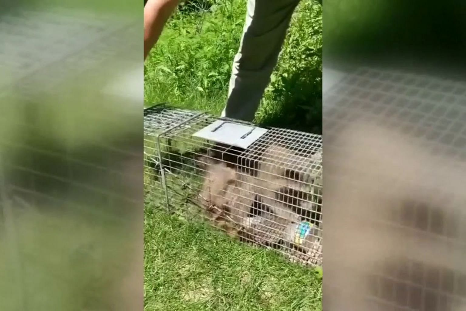 Skyscraping raccoon released into the wild