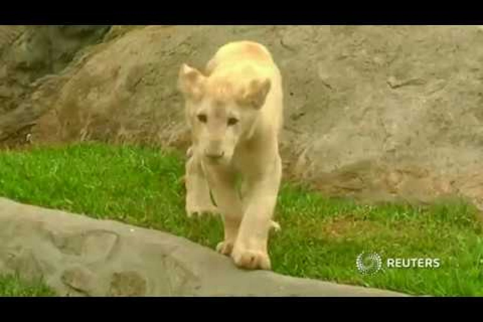 Cute white lion cubs bring delight to Peru zoo