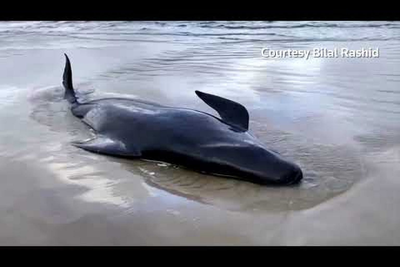 Australia to dispose of 400 dead stranded whales