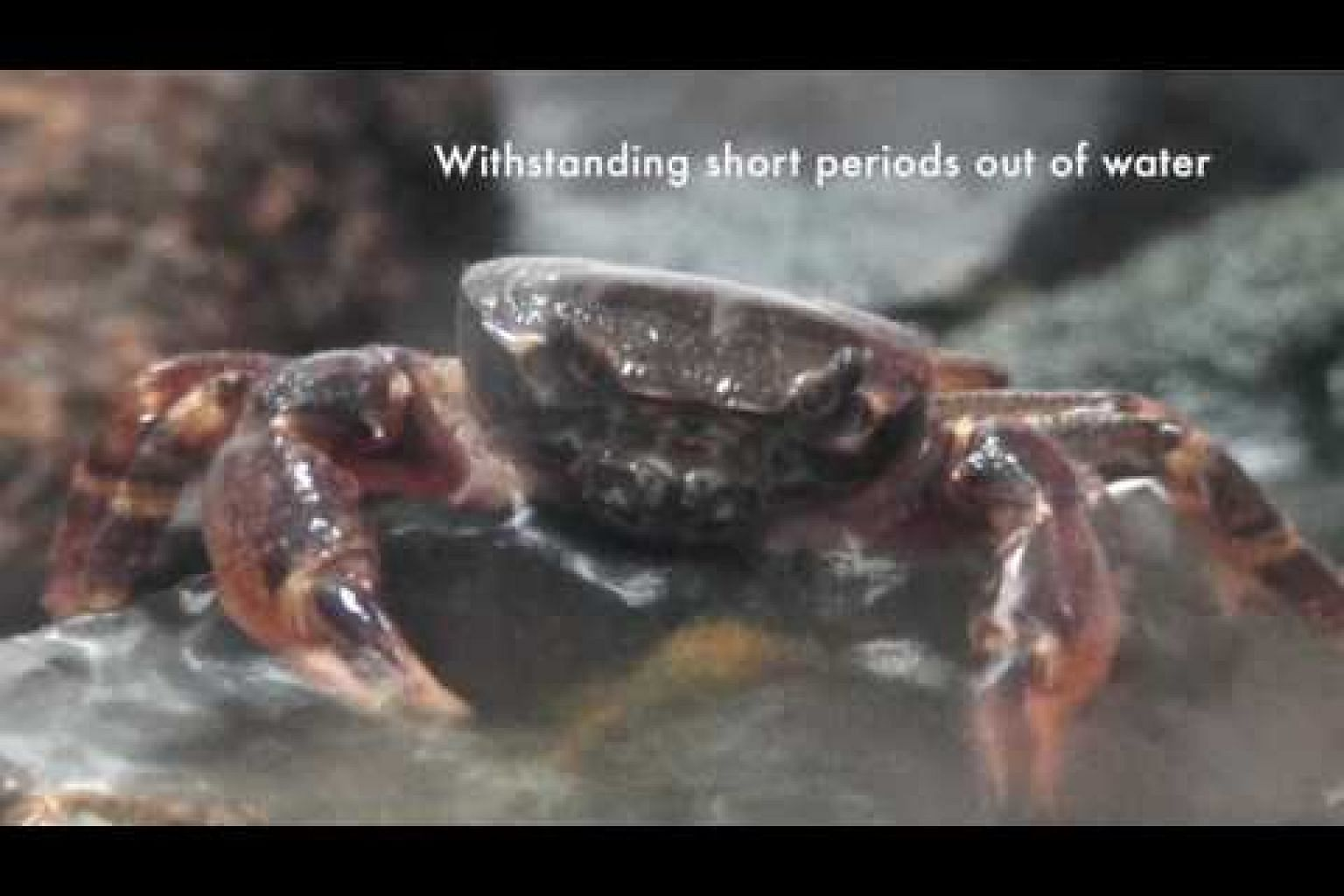 Critically endangered crab Johora singaporensis
