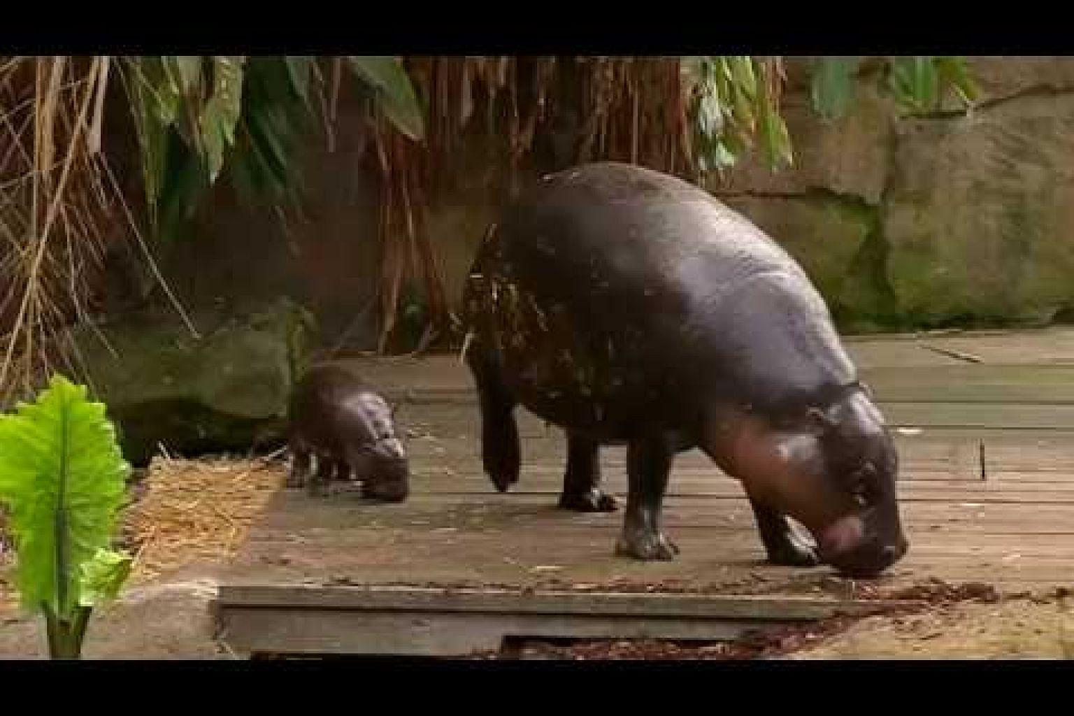 Baby pygmy hippo makes a splash at Sydney's Taronga Zoo