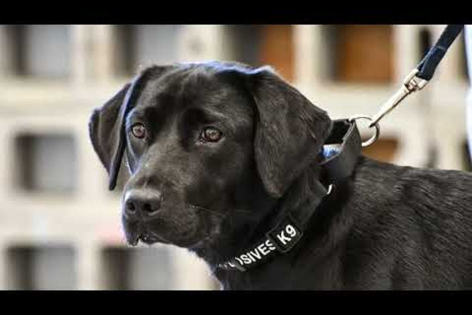 CIA dog trainee quits explosives school in favor of 'sniffing out rabbits and squirrels'