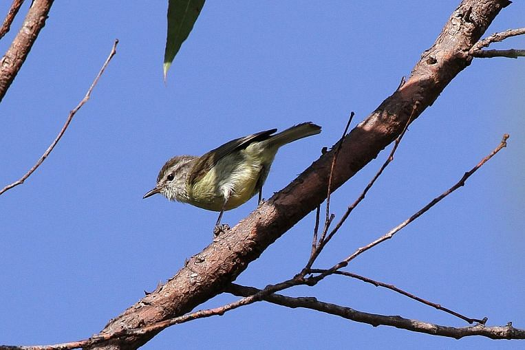 The Timor leaf-warbler sports a smaller beak than the Rote leaf-warbler. Professor Frank Rheindt believes the deep sea trench between the islands of Timor and Rote prevents the small woodland bird from ever crossing it. Image: Dubi Shapiro