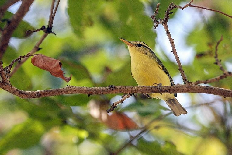The Rote leaf-warbler is found only on the Indonesian island of Rote, a mere 12km from neighbouring Timor. It is completely new to science and was announced as a new species only this year. Image: Philippe Verbelen