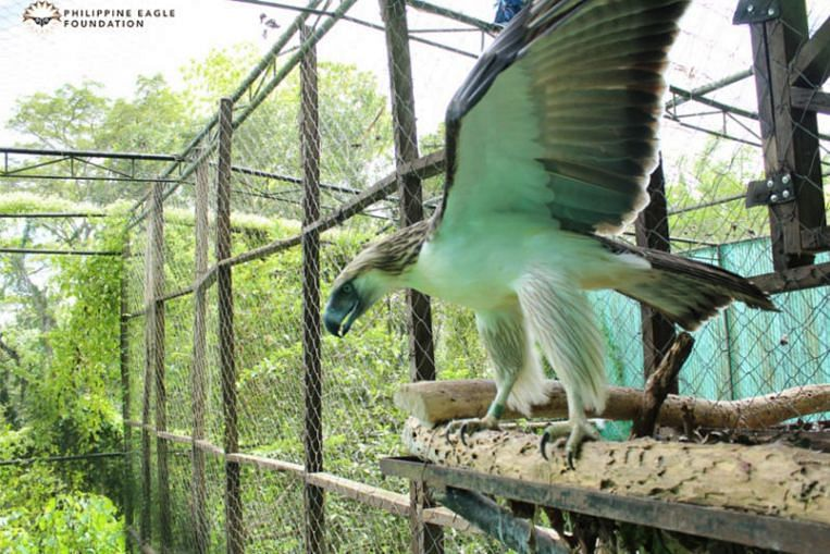 The two Philippine eagles – a 15-year-old male named Geothermica (above) and a 17-year female named Sambisig – are set to be airlifted to Singapore on June 4, 2019. Image: Philippine Eagle Foundation