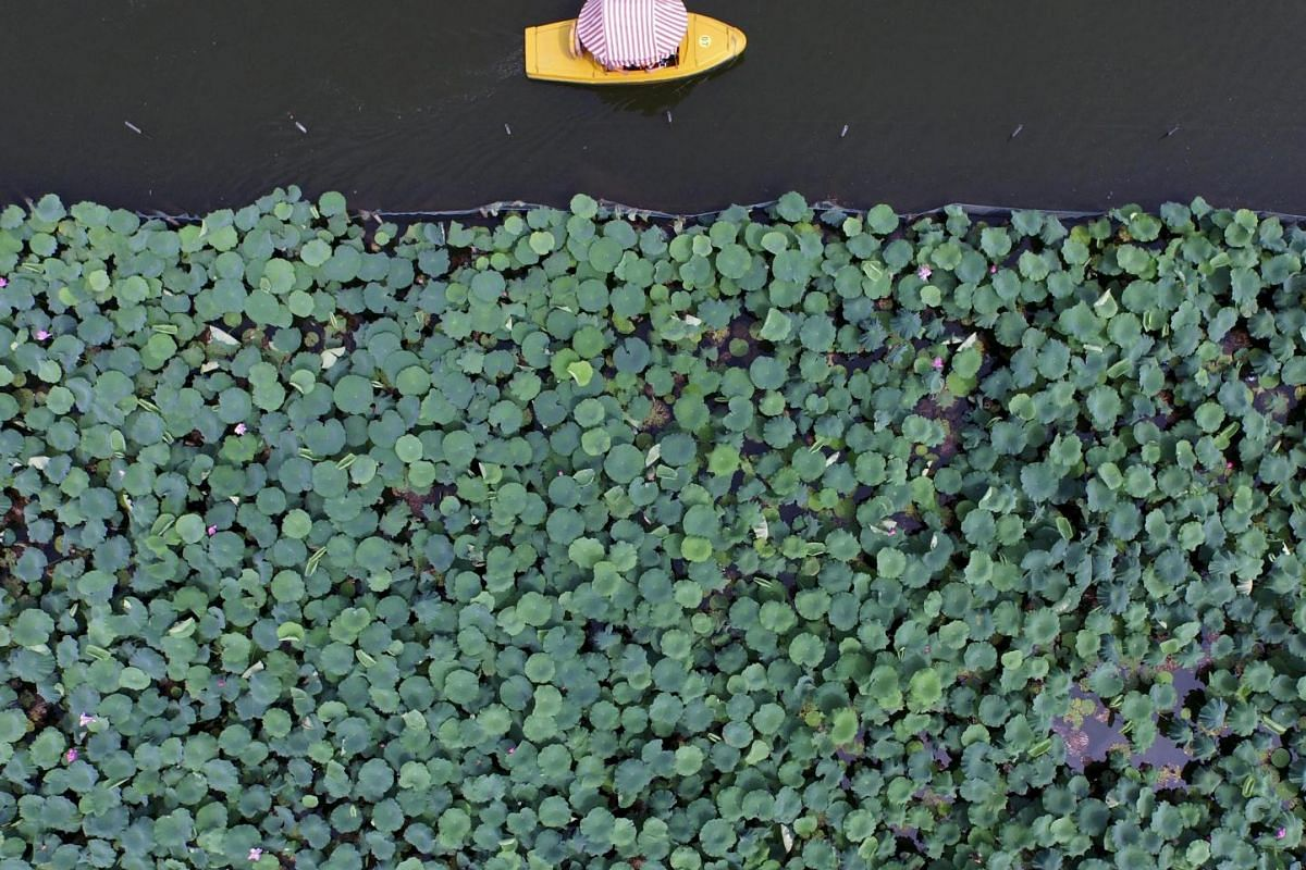 A boat travels past a part of the West Lake covered by lotus leaves, in Hangzhou, Zhejiang province, China, July 2, 2015.