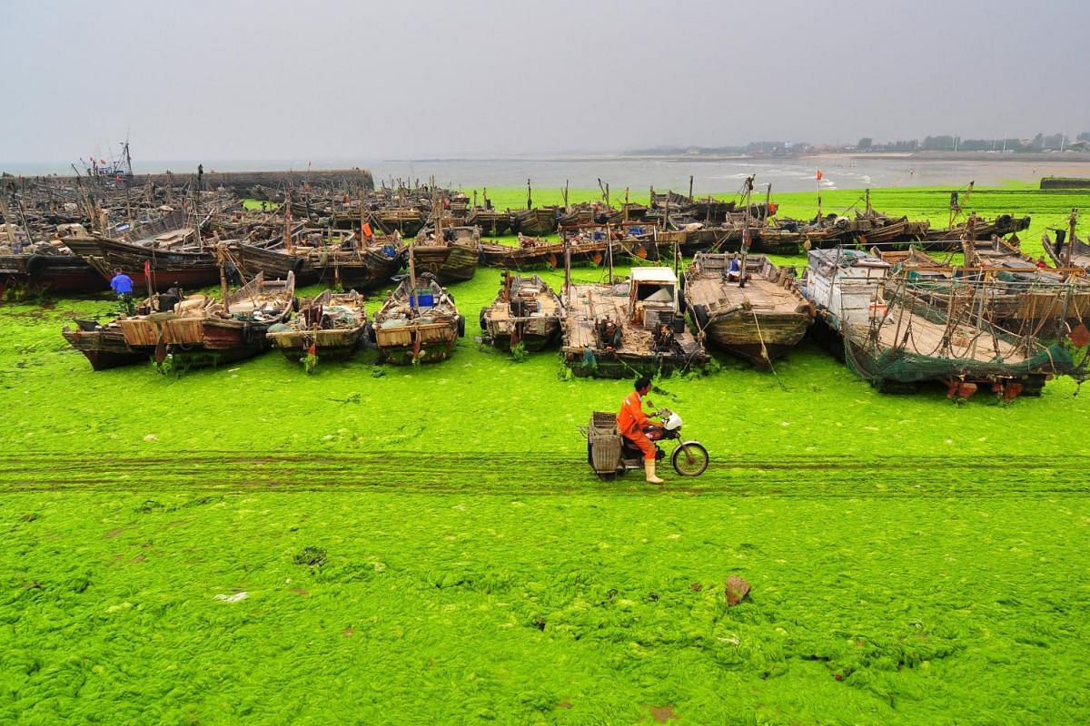 A fisherman rides past an algae-covered beachside in Rizhao, Shandong province, China, July 6, 2015. Picture taken July 6, 2015.