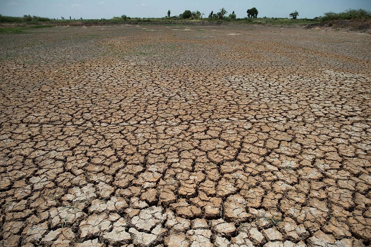 Close-up of a dried-out field with dying padi plants in Bang Pla Ma district, Suphanburi province on July 2, 2015.