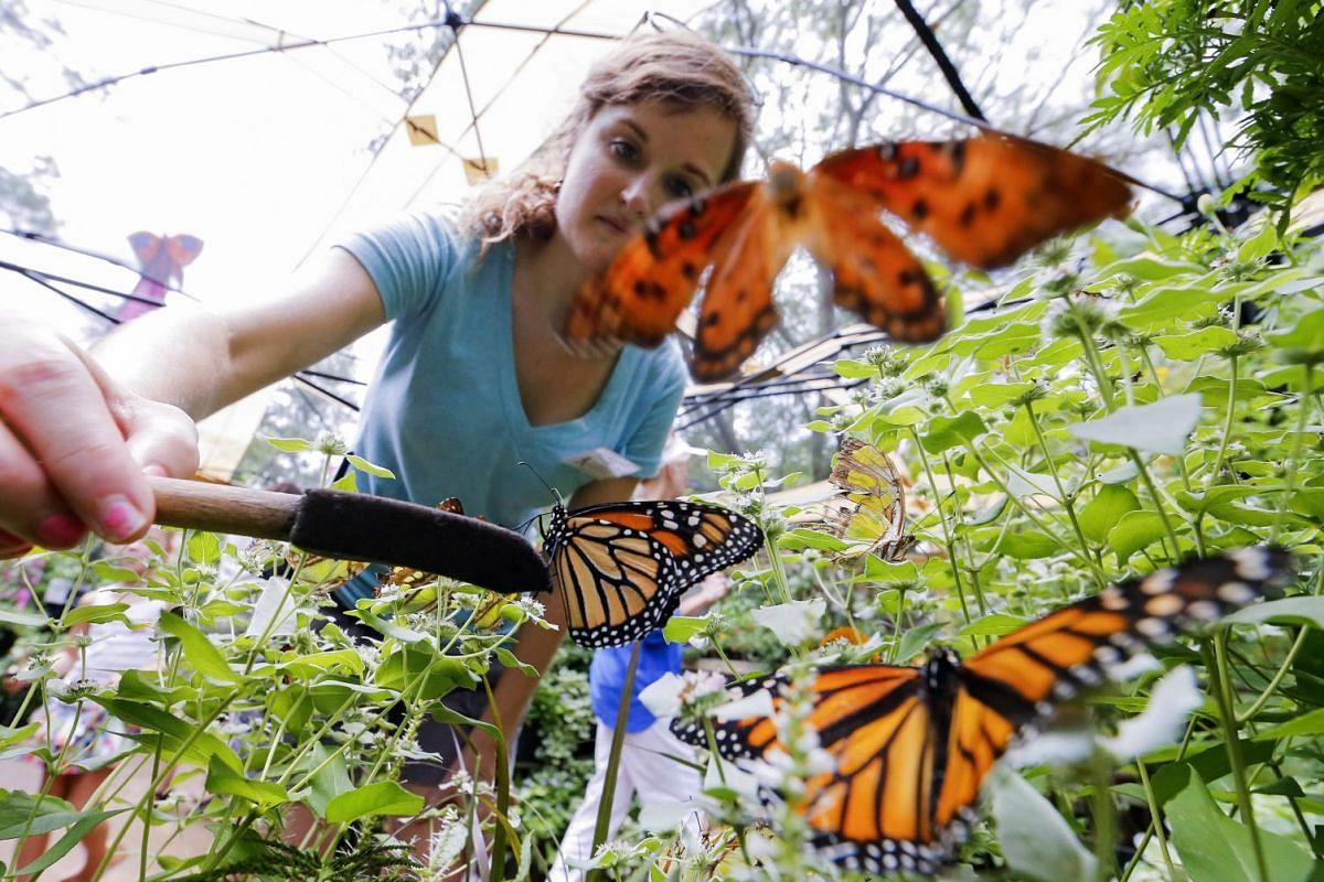 Docent Melissa Jamison tends to a group of Monarch butterflies while working in the Butterfly Encounter at the Chattahoochee Nature Center in Roswell, Georgia, USA, July 8, 2015. The exhibit which allows visitors the opportunity to feed the area's na