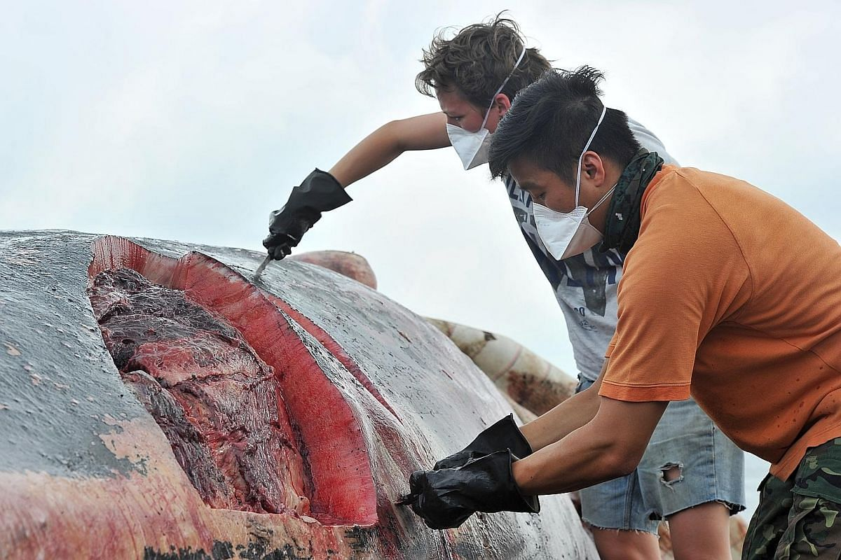 Museum conservator Kate Pocklington (left), 28, and mammals and birds curator Marcus Chua, 31, removing blubber from the carcass last Saturday.