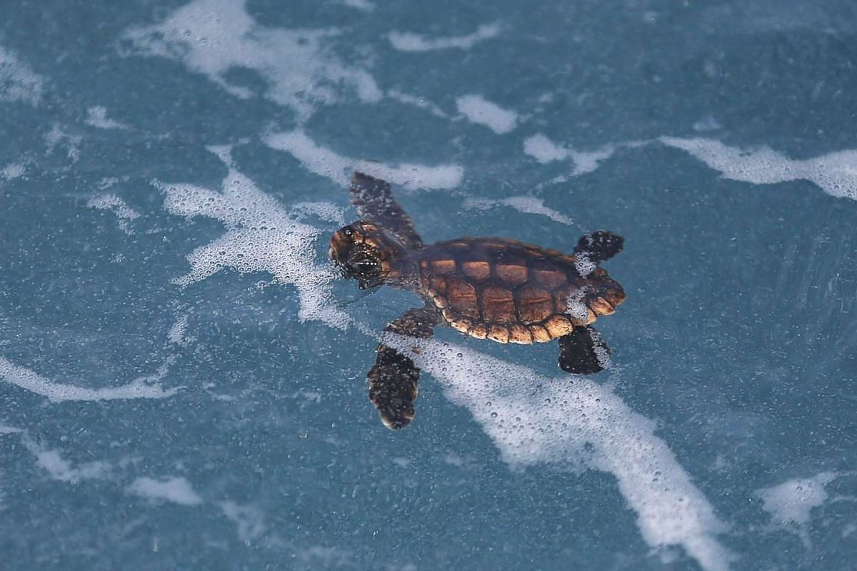 A Loggerhead hatchling swims in the water.