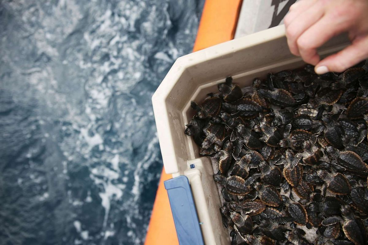 Some of the more than 570 sea turtle hatchlings that are being released back into the Atlantic Ocean.