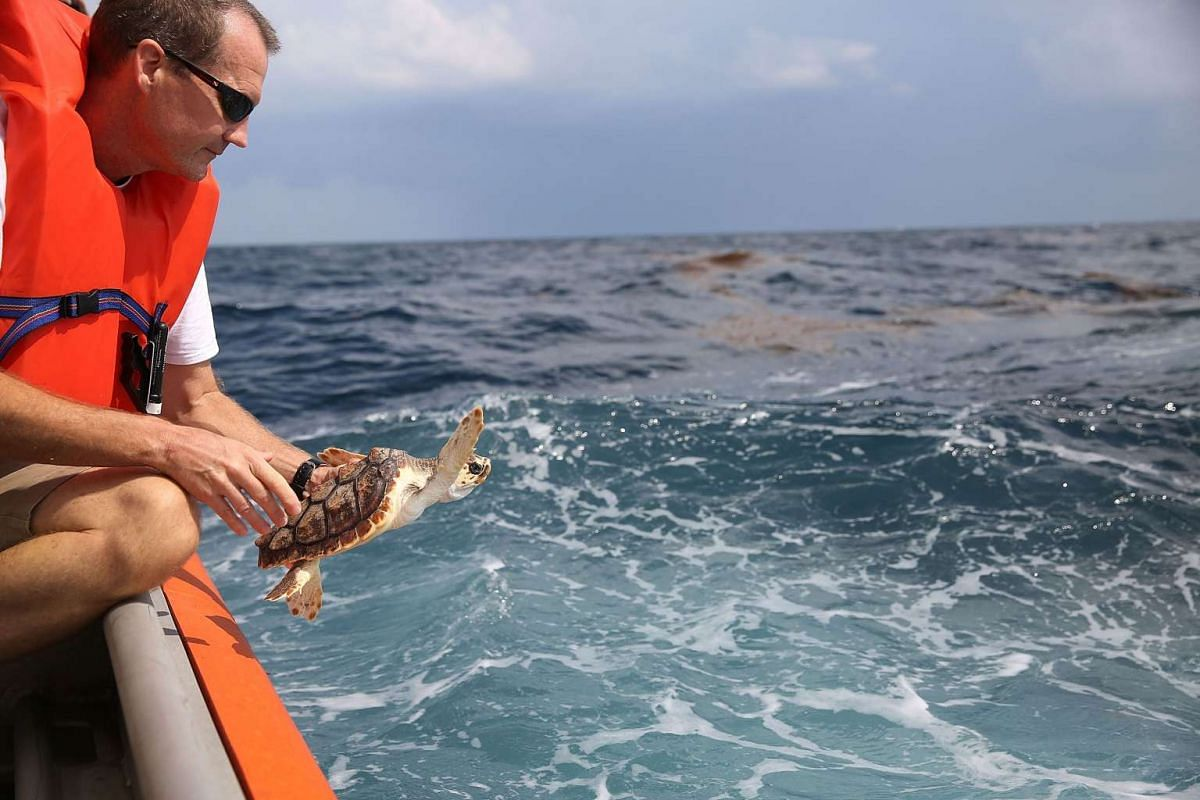 David Anderson, a Marine Turtle Specialist, prepares to release a Loggerhead turtle as it joins more than 570 baby sea turtles being released back into the Atlantic Ocean.