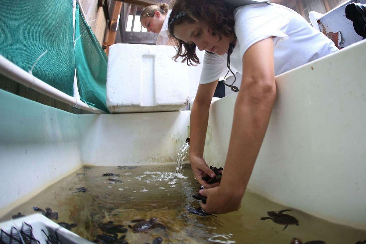 Sydney Jimenez, a Marine Turtle Specialist, transfers some of the more than 570 baby sea turtles, including the Loggerhead and Green turtles, into a box before they are taken out and released into the Atlantic Ocean.