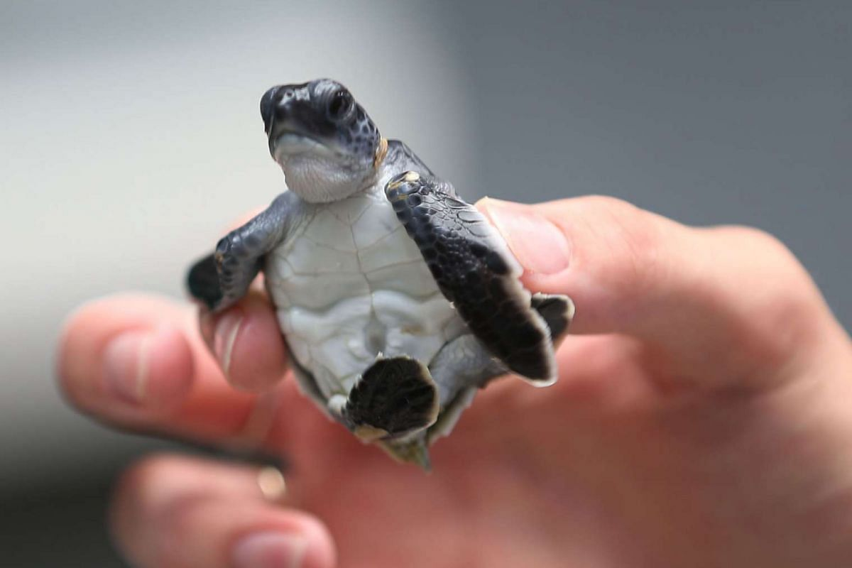 A green turtle is held as marine turtle specialists prepare to release the more than 570 baby sea turtles into the Atlantic Ocean.