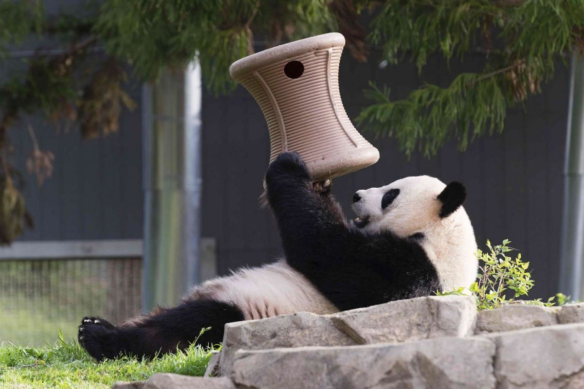 Giant panda Mei Xiang plays inside the Smithsonian's National Zoo in Washington, in this handout image taken on April 19, 2015 and obtained on August 10, 2015.