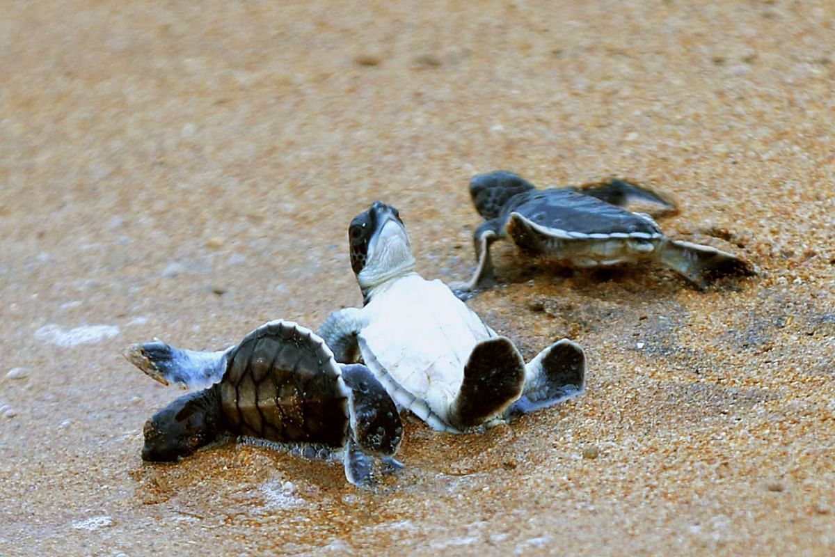 Sea turtle hatchlings head to the water after being released by volunteers at the Sea Turtle Reserve Centre in Kosgoda, some 74 kms south of Colombo, on August 10, 2015.