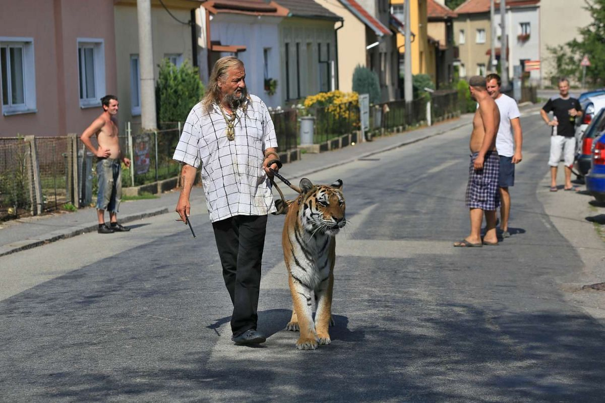Jaromir Joo, owner and trainer of circus animals, going for a walk with his tiger Taiga in Letovice, Czech Republic, on Aug 30, 2015.