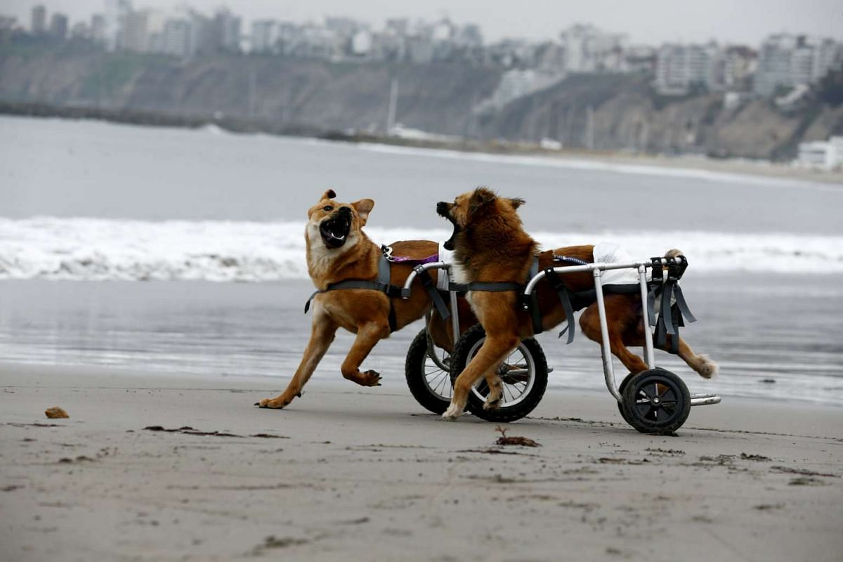 Pelusa and Huellas, paraplegic dogs in wheelchairs, playing at Pescadores beach in Chorrillos, Lima, on Sept 7, 2015. PHOTO: REUTERS/MARIANA BAZO