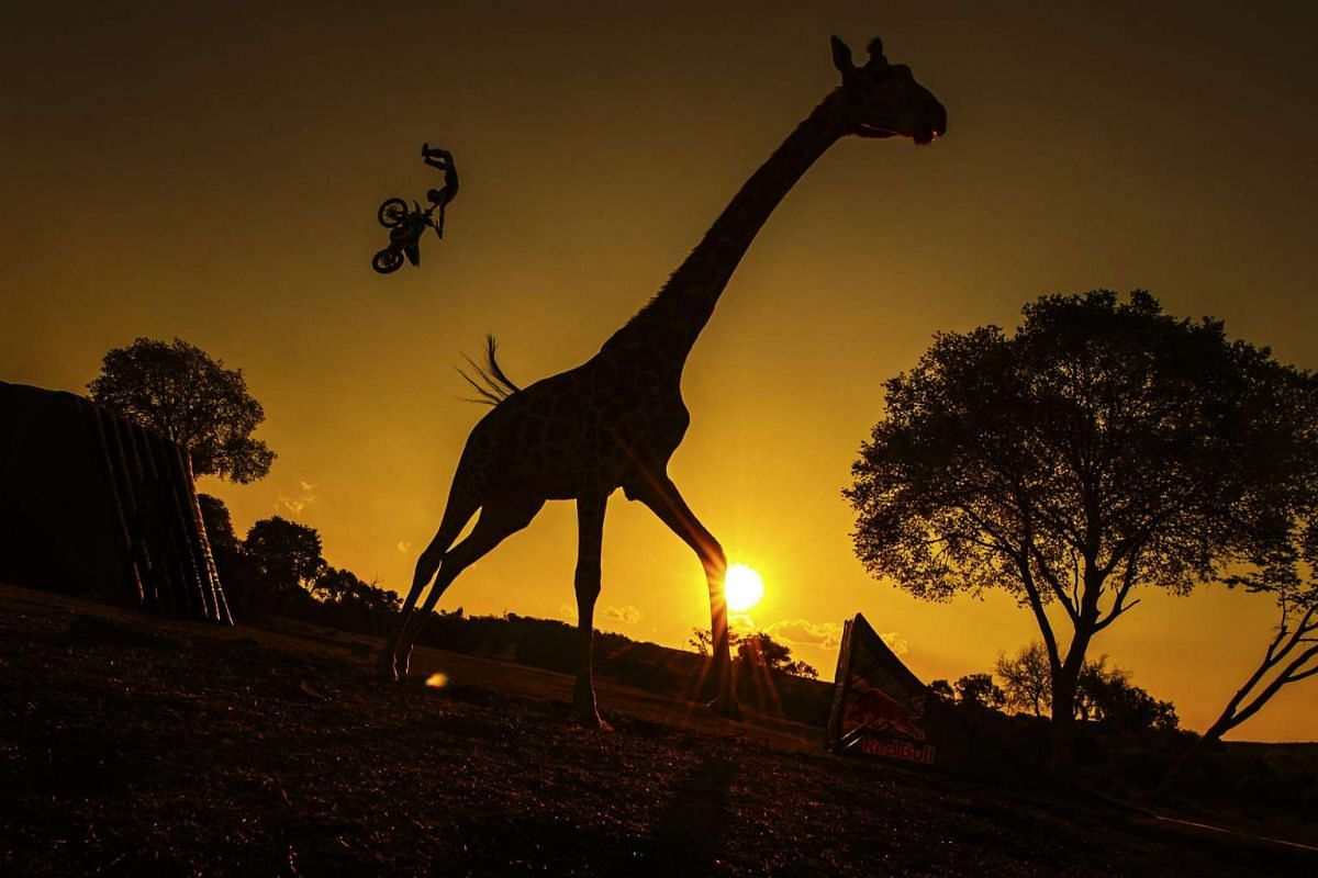 French rider Remi Bizouard (back) silhouetted against the sky during a warm-up session in the wide-open savanna, as a giraffe is seen in the foreground, at the Glen Afric Country Lodge prior to the fourth stage of the Red Bull X-Fighters World Tour i