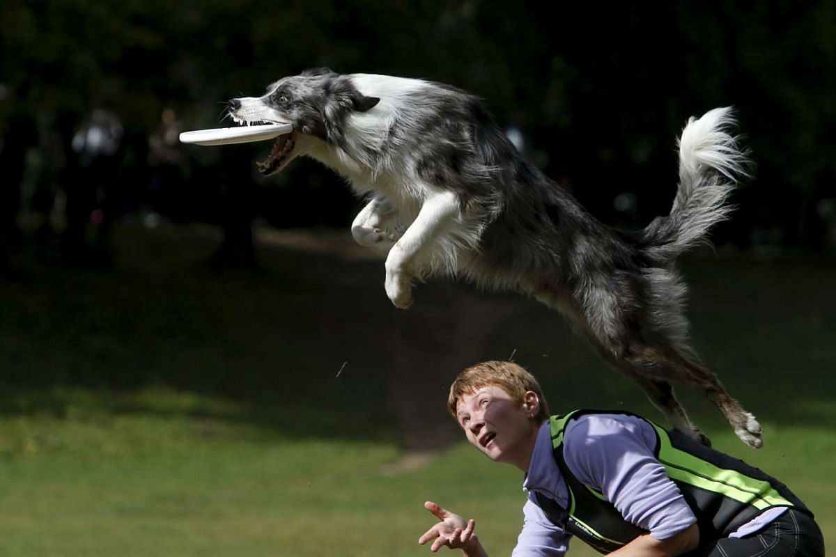 A dog demonstrating its skills during a dog frisbee competition in Moscow on Sept 13, 2015. Dogs and their owners took part in a variety of distance and accuracy tests during the contest.