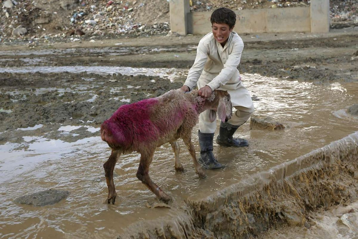 A boy pulling a sheep at a livestock market in Kabul, Afghanistan, on Sept 21, 2015.