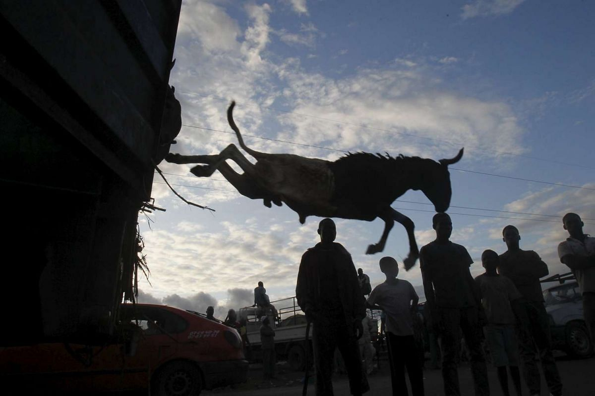 A sheep is pushed off a truck at a sheep market two days ahead of Eid al-Adha, in Port Bouet, Abidjan, Ivory Coast on Sept 22, 2015.