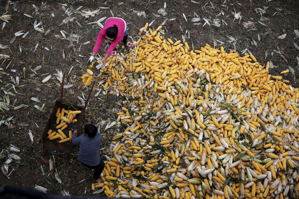 Farmers collecting corn for a cargo at a farm in Gaocheng, Hebei province, China. The world's biggest makers of tractors are finding a rare opportunity for growth in China despite a sharp slowdown in the world's second-largest economy, with big farm