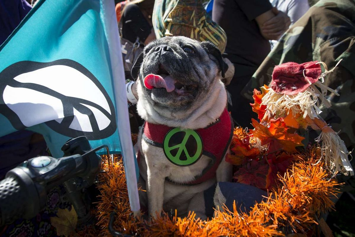 Olive the Peace Dog sits in a bicycle basket as people gather to form a giant peace symbol on the East Meadow of New York's Central Park, US, on Oct 6, 2015.