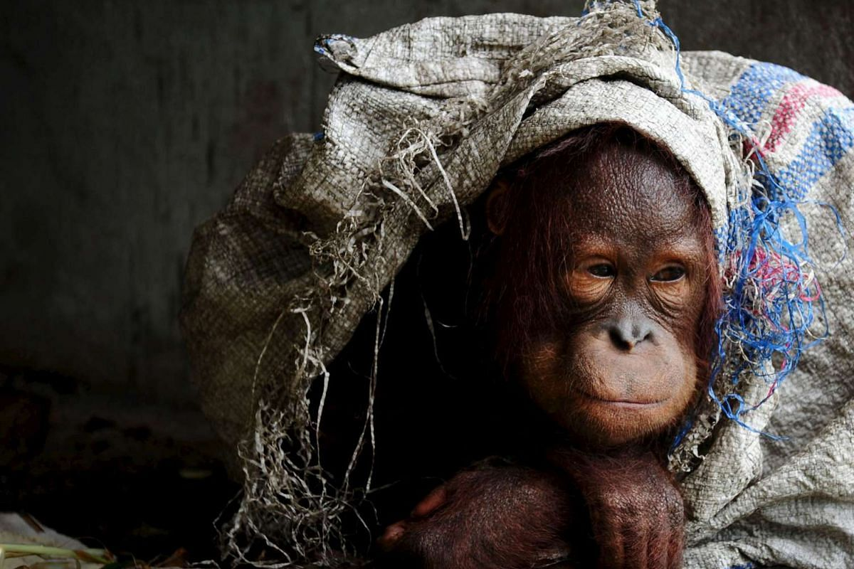 A male orangutan kept as a pet protecting himself with sack at the owner's home in the village of Korek, in Kubu Raya, in the West Kalimantan province, Indonesia, on Oct 6, 2015 in this picture taken by Antara Foto. Government officials have failed t