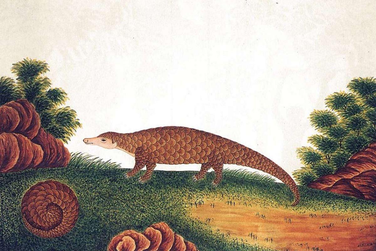 A drawing of the Sunda Pangolin (above).