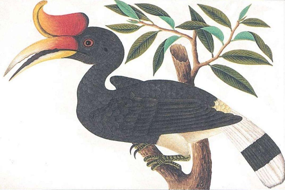 A painting of the Rhinoceros Hornbill.