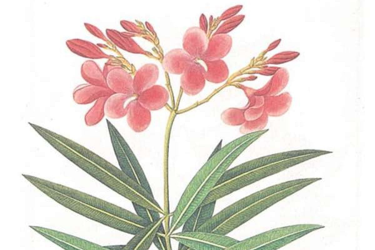 A painting of the Oleander flower (above).