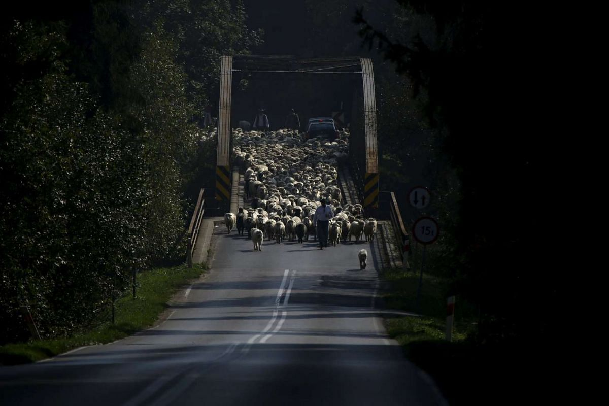 Shepherds and sheep crossing a bridge while on their way home during autumn redyk near Trybsz, Tatra Mountains region of southern Poland. Redyk is a traditional, kilometres-long march of highlanders with flocks of sheep, which takes place twice a yea