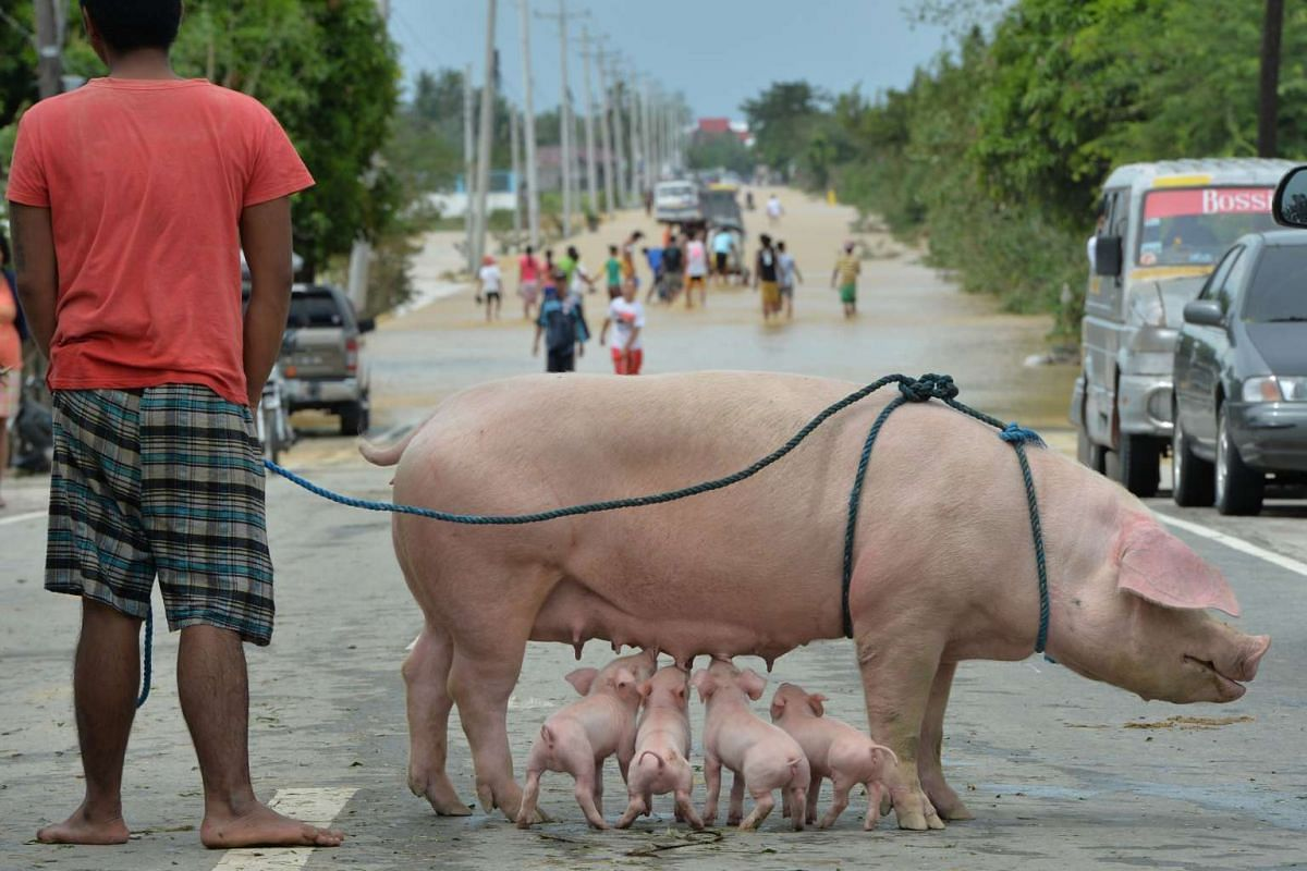 A resident stands with his rescued sow and suckling piglets as people (background) wade through a flooded highway in Santa Rosa town, Nueva Ecija province, north of Manila on Oct 19, 2015, a day after typhoon Koppu hit Aurora province. Residents of f