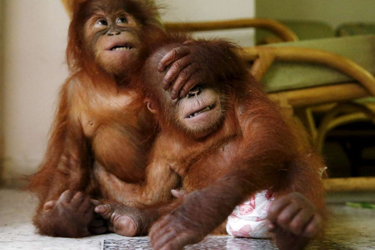 Two baby orangutans play with each other at the wildlife department in Kuala Lumpur, Malayasia, Oct 19, 2015. The Malaysian wildlife department in July seized two baby Sumatran orangutans, found in duffel bags, from traffickers who were attempting to