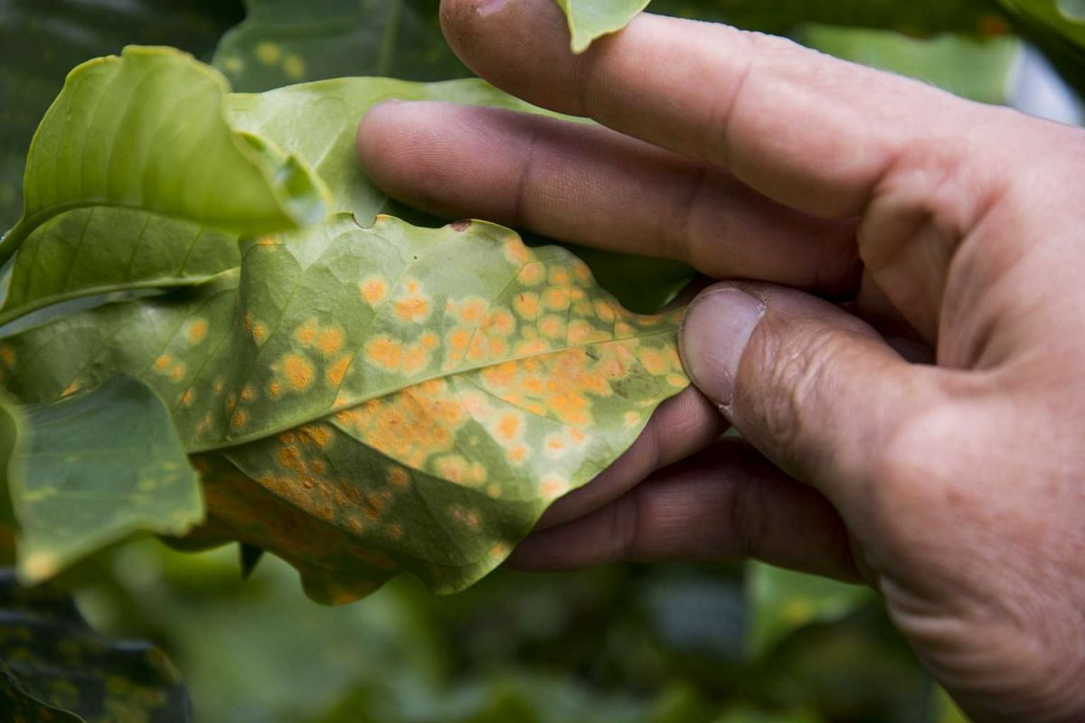 A coffee plantation in Costa Rica struggling with an infestation of the fungus roya (above), apart from high temperatures and drought; and a fish caught from the near-dry bed of Brazil's Aleixo Lake, where the waters of the Solimoes and the Negro r