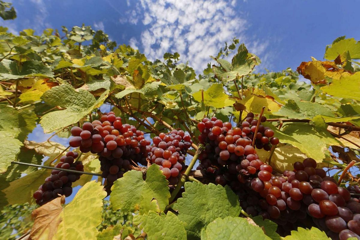 Bunches of grapes hang from the vine in a vineyard in Alsace, before their harvest in Orschwihr, France, in this Sept 26, 2015 file photo. Good news for wine drinkers: a leading international body said grape vines are a hardy little number and can su