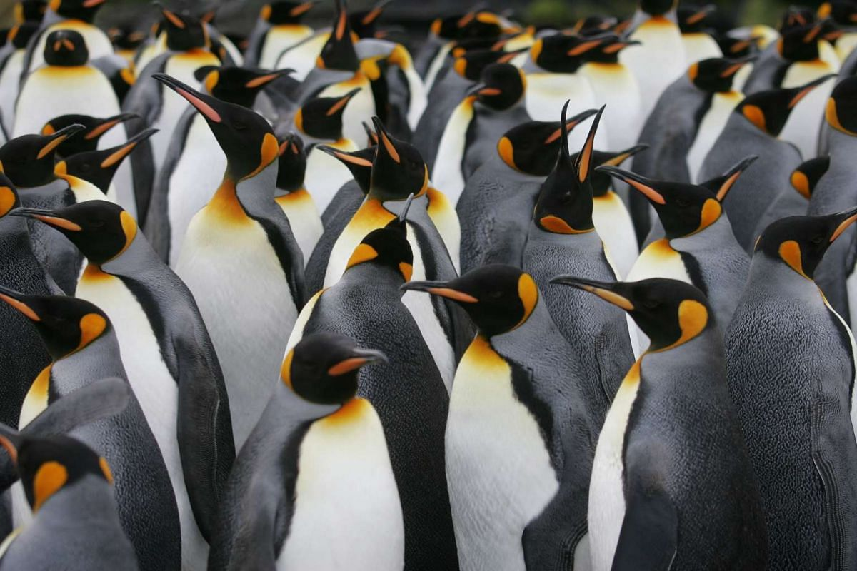 A file photo taken on July 1, 2007 shows a colony of king penguins on Possession Island in the Crozet archipelago in the Austral seas. Warmer sea temperatures are forcing Indian Ocean king penguins to travel further for food, cutting into their breed