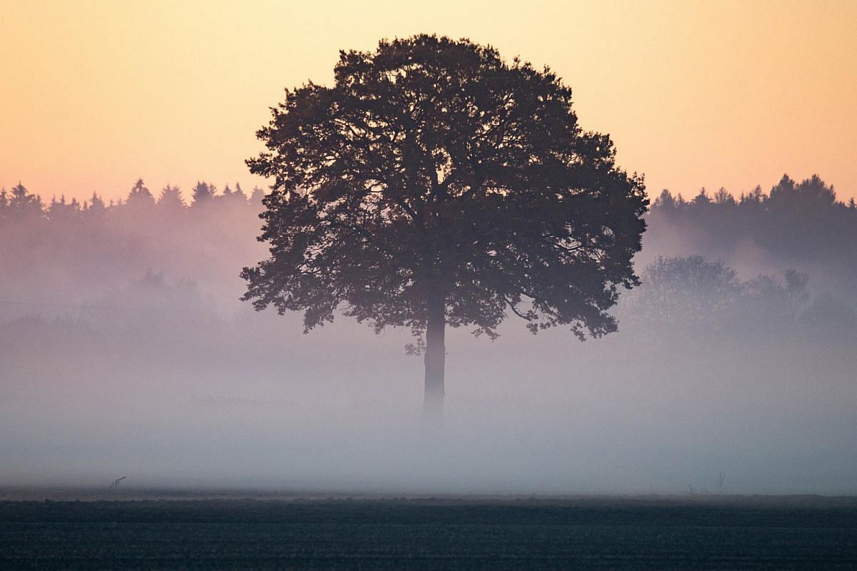 A tree partially covered by fog near Mintraching, Germany.