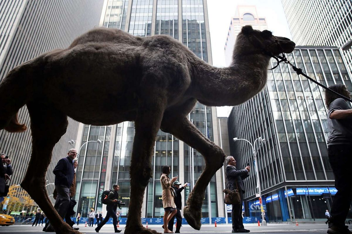 "A camel is led down 6th Avenue after being blessed by Cardinal Timothy Dolan at the start of rehearsals for ""Living Nativity"" in the 2015 Radio City Christmas Spectacular"