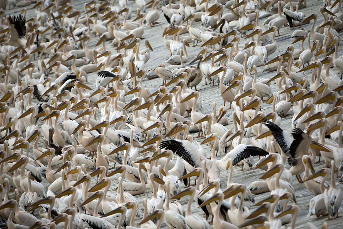 A flock of pelicans at a water reservoir in Emek Hefer, northern Israel.
