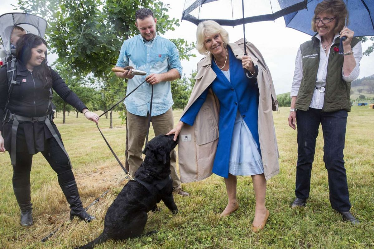 Britain's Camilla, the Duchess of Cornwall, pats Samson, a truffle finding dog during a tour at French Black Truffles farm in Canberra, Australia, on Nov 11, 2015.