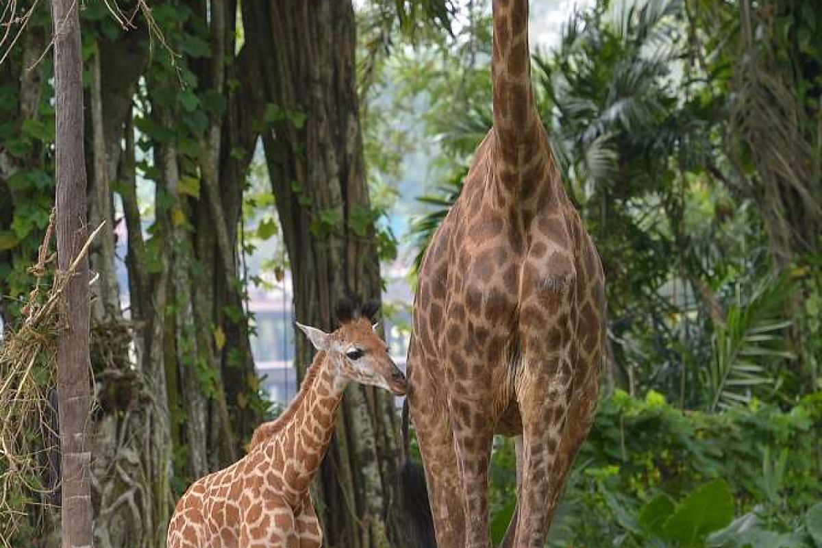 The yet-to-be-named baby giraffe with mother Roni.