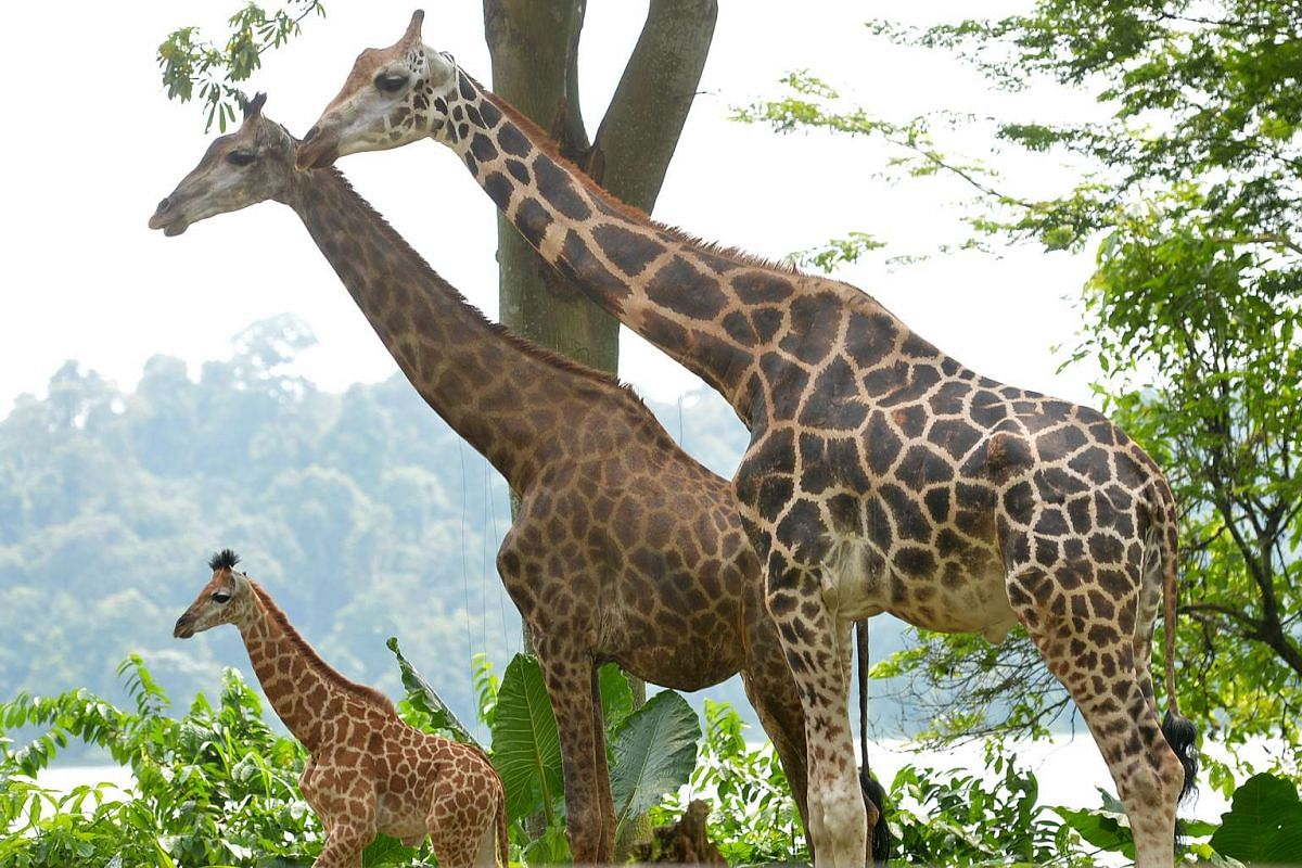 (From left) The baby giraffe with mother Roni and father Growie.