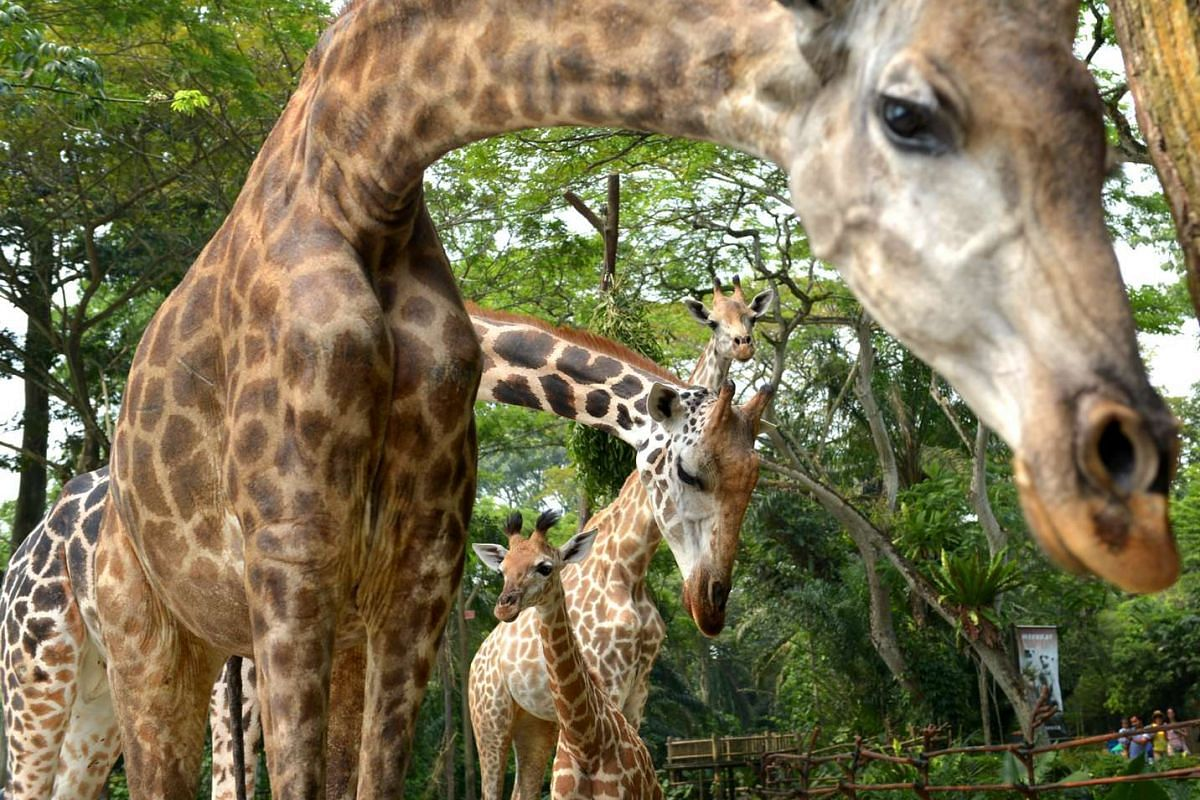 (From front) Father Roni, mother Growie, the baby giraffe and another giraffe named Lucy in the enclosure.