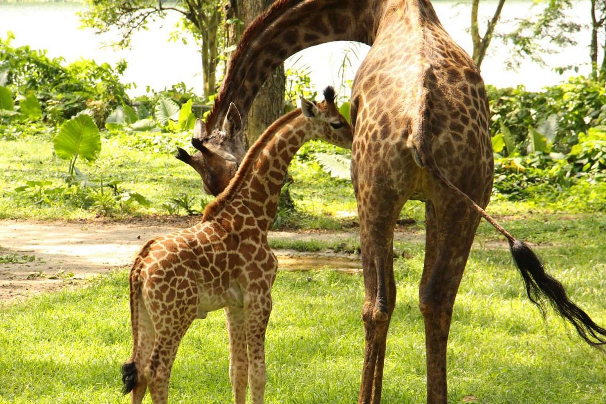 Roni the giraffe bonding with her new male calf, born on Aug 31. The baby can now be seen with the rest of the giraffe herd in the Singapore Zoo's Wild Africa zone.