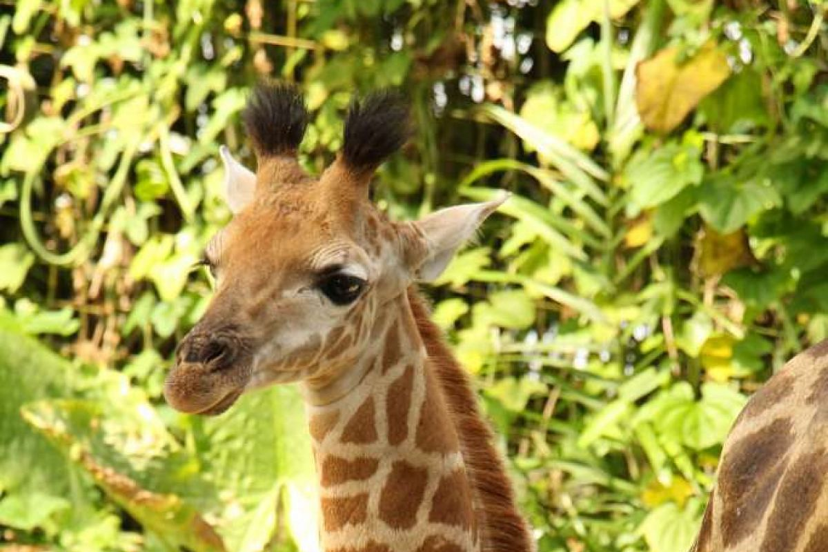 Singapore Zoo's first giraffe calf in 28 years. The male calf was born on Aug 31.