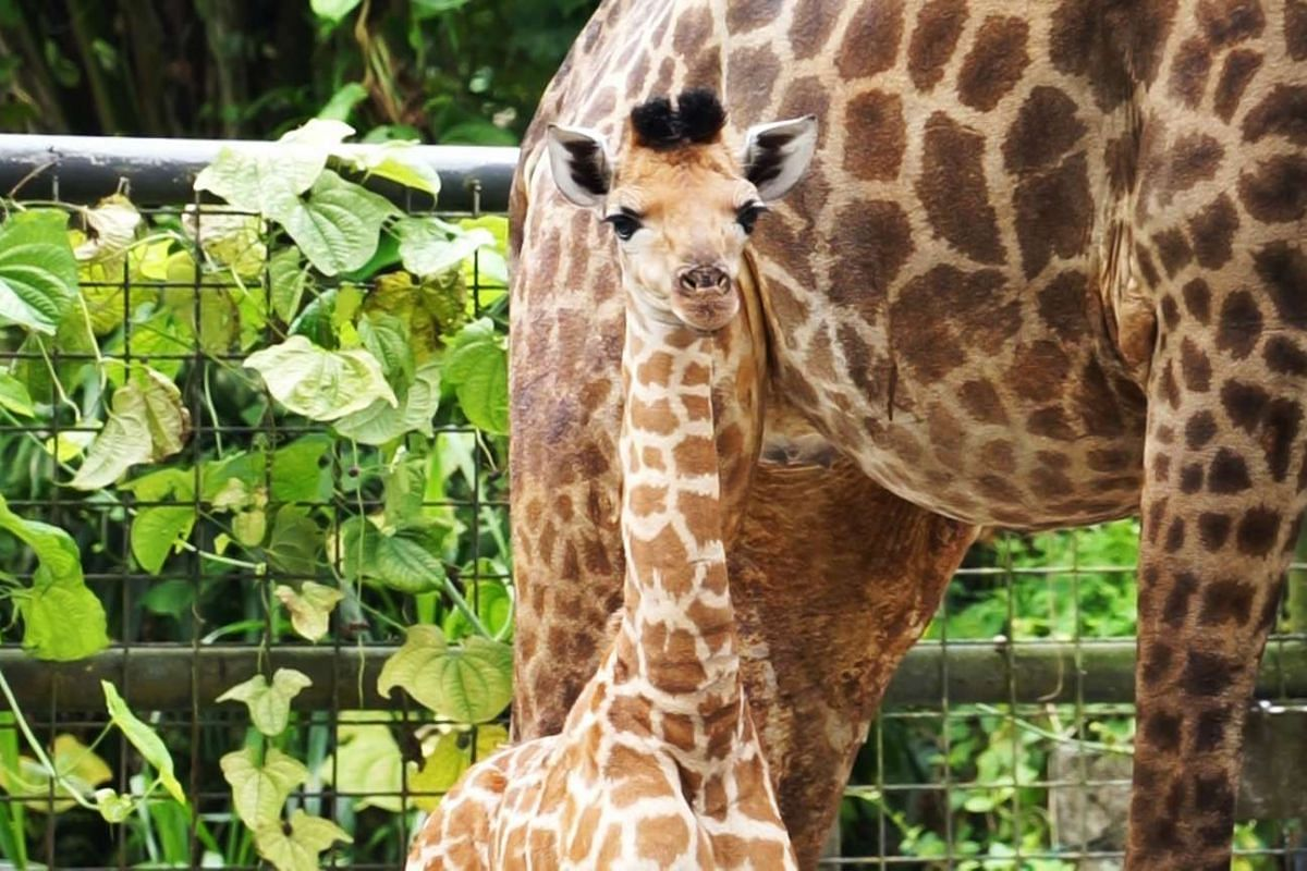 Singapore Zoo's first giraffe calf in 28 years seen in his exhibit. The male calf, born on Aug 31, is the first for mother Roni, and father Growie, which arrived at the Singapore Zoo in 2005 from Israel and the Netherlands respectively.